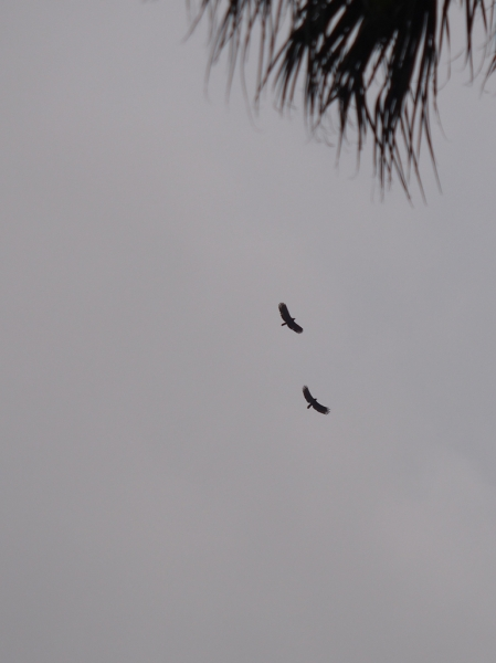 It looks like a couple of crested serpent eagles~